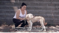 Dogs, Journey, and Life: and the Korean Sheep Dog was na  a national treasure in Kore ANDRE UPDATE‼️ Andre was saved from slaughter in South Korea. He is a very sweet understandably shy Sapsali- Korean Sheepdog and very friendly.  Please apply to foster or adopt him here: https://goo.gl/7FhaR0  The Sapsaree/Sapsali were designated as a National Treasure in 1992 by the Korean Government but sadly they were almost killed off in the mid 1980's when Korea was under Japanese rule and they were slaughtered in large numbers to make winter coats for the Military in Manchuria. Traditionally, these dogs were believed to dispel ghosts and evil spirits. We think Andre is absolutely adorable and any home would be luck to have him!  Please apply to foster or adopt him immediately. These dogs were rescued from a life of dispair, neglect and injury. Please help us continue to help them and the others saved off the breeding farm.   Remember, it takes a village and we can't do this without YOU! Once neglected and abandoned, now they are ready to meet YOU! PLEASE CONTINUE TO SUPPORT THIS RESCUE MISSION HERE: https://goo.gl/NY1rU7  The rest of the dogs still need you🙏 Most of the dogs have medical issues raging from heartworm to severe joint issues. Each one must be vaccinated, quarantined and cared for daily.  ALL DOGS HAVE BEEN RESCUED OFF THE FARM in South Korea! With your help, NYBC was able to save 39 dogs!  There was a total of 51 dogs, which another organization was able to step in also, plus peacocks, chickens and turkeys saved!  Phase 1 is complete but Phase 2 now begins!! This initiative is far from over. The dogs must stay in South Korea for at least 30 days from vaccinations. Please contribute to this amazing case and help these dogs begin their journey to finding furever! Thank you!!  #southkorea39nybc #nybckorea #leavenodogbehind #speakingfortheoneswhocant #newyorkbullycrew  #nybc #korea39 #andrenybc