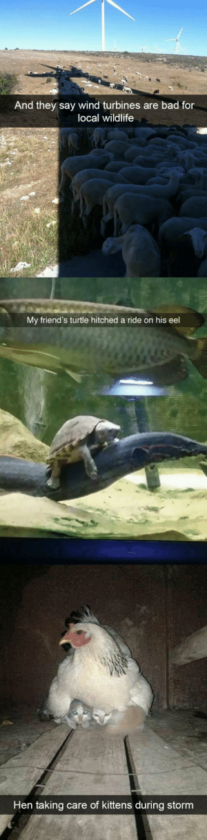 Bad, Friends, and Target: And they say wind turbines are bad for  local wildlife   My friend's turtle hitched a ride on his eel   Hen taking care of kittens during stornm animalsnaps:Animal snaps