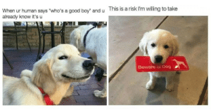 """memehumor:  30+ Funny Doggo Memes That Will Get Your Tail Wagging: and u  This is a risk I'm willing to take  When ur human says """"who's a good boy""""  already know it's u  Beware of Dog memehumor:  30+ Funny Doggo Memes That Will Get Your Tail Wagging"""