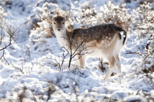 Deer, Target, and Tumblr: androgynouscuties: rivermusic:  Fallow Deer in Snow World by thrumyeye Please retain photo credits   Melongance