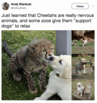 "Animals, Dogs, and Memes: Andy Stardust  Follow  Just learned that Cheetahs are really nervous  animals, and some zoos give them ""support  dogs"" to relax https://t.co/ZJOG1zPbZe"