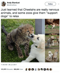 "Animals, Dogs, and Memes: Andy Stardust  @imACultHero  Follow  Just learned that Cheetahs are really nervous  animals, and some zoos give them ""support  dogs"" to relax  11:46 AM 26 Jun 2017  101,975 Retweets 283,585 Likes  e·@ :身  0终 Memes"