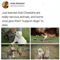"Animals, Dogs, and Funny: Andy Stardust  @lmACultHero  Just learned that Cheetahs are  really nervous animals, and some  zoos give them ""support dogs"" to  relax This is the purest thing I've ever seen in my entire sordid life"