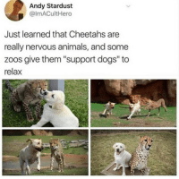 "Animals, Cats, and Dogs: Andy Stardust  @lmACultHero  Just learned that Cheetahs are  really nervous animals, and some  zoos give them ""support dogs"" to  relax <p>Even big scary cats need a doggo sometimes</p>"
