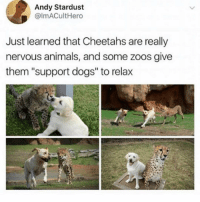 "Animals, Dogs, and Girl Memes: Andy Stardust  @lmACultHero  Just learned that Cheetahs are really  nervous animalS, and some zoos give  them ""support dogs"" to relax Spam my posts with comments & if i notice you in my notifications, i'll tag you in this post ❤️❤️"