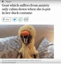 Instagram, Memes, and Goat: ANews  Goat which suffers from anxiety  only calms down when she is put  in her duck costume  It's not easy being an anxious goat CREDIT GOATS OF  ANARCHY/INSTAGRAM https://t.co/HWpmssIUox