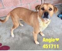 Dogs, Food, and Memes: Angie  451711 Email Placement@sanantoniopetsalive.org if you are interested in Adopting, Fostering, or Rescuing!  Our shelter is open from 11AM-7PM Mon -Fri, 11AM-5PM Sat and 11AM-5PM Sun.  Urgent Pets are at Animal Care Services Campus and SAPA! is Only in Bldg 1 GO TO SAPA BLDG 1 & bring the Pet's ID! Address: 4710 Hwy. 151 San Antonio, Texas 78227 (Next Door to the San Antonio Food Bank on 151 Access Road)  **All Safe Dogs can be found in our Safe Album!** ---------------------------------------------------------------------------------------------------------- **SHORT TERM FOSTERS ARE NEEDED TO SAVE LIVES- email placement@sanantoniopetsalive.org if you are interested in being a temporary foster!!**