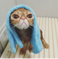 Angry cat after taking bath: Angry cat after taking bath