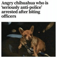 4chan, Chihuahua, and Memes: Angry chihuahua, who is  seriously anti-police  arrested after biting  officers ____________________________________________ Follow my personal account @noahdovb (Photography, music, and shit) ___________________________________________ eataburger filthyfrank edgymemes triggered offensivecontent papafranku dankmemes edgy4days kidzbop ayylmao offensive cringe 4chan edgybullshit fantasticfuckers injectedmemes memecucks edgy filthyfrank