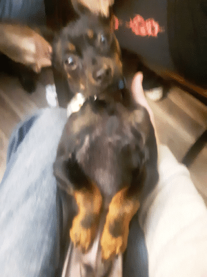 Angus, my Russian Toy Terrier (Sorry for blurry image): Angus, my Russian Toy Terrier (Sorry for blurry image)