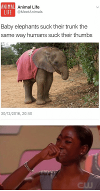 Trunks, Elephant, and Girl Memes: ANIMAL  Animal Life  LIFE  @MeetAnimals  Baby elephants suck their trunk the  same way humans suck their thumbs  30/12/2016, 20:40 https://t.co/zF3HylA9eU