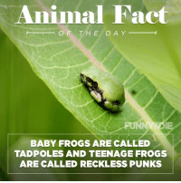 Dank, 🤖, and Frog: Animal Fact  OF THE DA Y  BABY FROGS ARE CALLED  TADPOLES AND TEENAGE FROGS  ARE CALLED RECKLESS PUNKS
