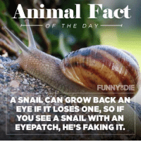 #themoreyouknow.  😂😂😂: Animal Fact  OF THE DAY  FUNNY DIE  A SNAIL CAN GROW BACK AN  EYE IF IT LOSES ONE, SO IF  YOU SEE A SNAIL WITH AN  EYEPATCH HE'S FAKING IT #themoreyouknow.  😂😂😂