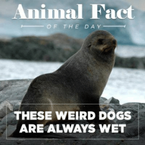 Wet-dog, Wet-dog, Alone in the world was a little wet-dog: Animal Fact  OF THE DAY  THESE WEIRD DOGS  ARE ALWAYS WET Wet-dog, Wet-dog, Alone in the world was a little wet-dog