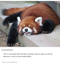 Red pandas: animal factbook:  70% of red pandas hate Mondays and often refuse to wake up until the  afternoon in order to avoid responsibility  Source: animal factbook