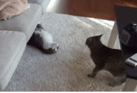 Tumblr, Animal, and Blog: animal-factbook:  Once again, cat sibling rivalry is seen at its finest. The older brother cat cleverly wiggles itself out from under the couch in order to annoy the younger sibling. This behavior is frequently seen in many varieties of felines.
