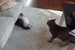 Target, Tumblr, and Animal: animal-factbook:  Once again, cat sibling rivalry is seen at its finest. The older brother cat cleverly wiggles itself out from under the couch in order to annoy the younger sibling. This behavior is frequently seen in many varieties of felines.