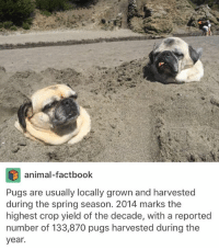 Memes, Animal, and Pugs: animal-factbook  Pugs are usually locally grown and harvested  during the spring season. 2014 marks the  highest crop yield of the decade, with a reported  number of 133,870 pugs harvested during the  year. I've slept all day @idiosyncrat