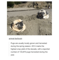 Pugs: animal-factbook:  Pugs are usually locally grown and harvested  during the spring season. 2014 marks the  highest crop yield of the decade, with a reported  number of 133,870 pugs harvested during the  year.