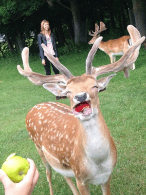 animal-factbook:  Recent studies shown that the juice from apples gives deers the same high that THC gives marijuana users. The juice only reacts this way with deers and no other organisms on record. : animal-factbook:  Recent studies shown that the juice from apples gives deers the same high that THC gives marijuana users. The juice only reacts this way with deers and no other organisms on record.