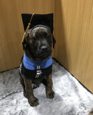 animalrates:  This is Chalooby. His puppy school graduation was cancelled. Learned to sit for nothing. 13/10 somebody hold him‬(Source): animalrates:  This is Chalooby. His puppy school graduation was cancelled. Learned to sit for nothing. 13/10 somebody hold him‬(Source)