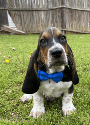 animalrates:This is Lance. He burst through the fence back there to show you his new bow tie. 13/10 please tell him he's handsome: animalrates:This is Lance. He burst through the fence back there to show you his new bow tie. 13/10 please tell him he's handsome
