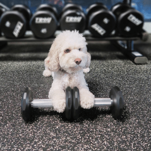animalrates: This is Sushi the cockapoo. She likes to start the morning right by going to the gym. Would rather take cute photos instead though. Adorable af. 12/10 via @sushisaid : animalrates: This is Sushi the cockapoo. She likes to start the morning right by going to the gym. Would rather take cute photos instead though. Adorable af. 12/10 via @sushisaid