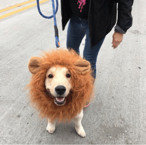 animalrates:Who sent in this Moroccan Road Lion.. appears to be very h*ckin fluffy and also quite fierce. Would pet with caution. 12/10: animalrates:Who sent in this Moroccan Road Lion.. appears to be very h*ckin fluffy and also quite fierce. Would pet with caution. 12/10