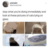 Animals, Cats, and Memes: animals!  @animalzone  stop what you're doing immediately and  look at these pictures of cats lying on  glass 🚨STOP EVERYTHING🚨 look at this @banterkingmag (@animalzone on Twitter)
