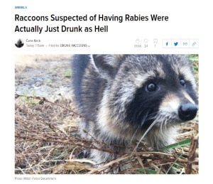 Me IRL by Nach0Man_RandySavage MORE MEMES: ANIMALS  Raccoons Suspected of Having Rabies Were  Actually Just Drunk as Hell  Catie Keck  Today 1:15am . Filed to: DRUNK RACCOONS﹀  31.5K 24 1f  Photo: Mlton Police Department Me IRL by Nach0Man_RandySavage MORE MEMES
