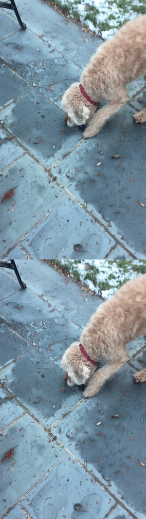 animalsnaps:  His ball froze to the ground and he didn't understand why he couldn't grab it (Source): animalsnaps:  His ball froze to the ground and he didn't understand why he couldn't grab it (Source)