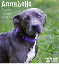 Dogs, Memes, and Puppies: Annabelle  years  Female  Pit Bull mix  FOREVER BEGINS  HERE  HUMANE All dogs/puppies in our shelter can be viewed here.  Any dog not being held as a stray is available for immediate, same-day adoption! Adoption applications are reviewed on site. Please share our dogs and help get them out of the shelter as quickly as possible!  **PLEASE NOTE**  Placing an application on a dog featured in this album does NOT hold the dog for you.  All available dogs are available to be met and adopted same day if already altered.  If not altered, the dog can be met and paid for in order to hold the dog for you.  Thank you for your understanding!