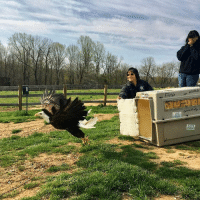 Memes, Happy, and Wild: ANNALS Check out this incredible moment of Gulliver being released back into the wild this morning! Thanks to the Sparrow Fund, Gulliver the baldeagle was successfully treated for extreme lead poisoning and is now healthy and happy back in his natural habitat 🦅 wildliferescue natureisbeautiful freedomflight