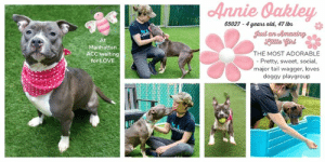 "Beautiful, Dogs, and Funny: Annie Oakley  65027 4 years old, 47 lbs  Just un Amaeiny  At  THE MOST ADORABLE  - Pretty, sweet, social,  major tail wagger, loves  doggy playgroup  Manhattan  ACC waiting  for LOVE  UNTEEP GIVEN A LEVEL 1 RATING FOR GOOD BEHAVIOR <3   A Volunteer Wrote: This goofball of a girl--and all of us who love her use ""goofball"" to describe her with the highest of esteem--is a total joy. A staff member who has seen her in playgroup with other dogs laughs when asked about her and says, ""She loves to romp!"" adding, ""She's sooo funny."" When we got back from our walk in the park, the volunteer who had been with us said admiringly, ""What a beautiful athlete!"" Throughout it all, Annie O. wagged her tail like mad and panted her giant gratitude to have playmates to hang out with, over the moon to have attention and companionship that mirrored her own enthusiasm for the world. Annie O is the dog version of the good time girl, always up for a lark, and we are so hoping she might find a lifetime of larks with someone as loving as she is.  MY MOVIES: Adorable Annie Oakley https://youtu.be/1GYN9qxohfw Annie Oakley and Bruce in Playgroup https://youtu.be/fUD3VZP1N-c  ANNIE OAKLEY@MANHATTAN ACC Annie Oakley ID# 65027  Sex: Female Age: 4 years old Length: Short Is Vaccinated: Yes Coat Type: Smooth Primary Color: Gray Secondary Color: White Weight: 47.8 lbs. Shelter Assessment Rating: LEVEL 1 Intake Date: 06-05-2019  My health has been checked My vaccinations are up to date My worming is up to date I have been microchipped  Please take note of the Animal ID before contacting shelter   *** TO FOSTER OR ADOPT ***   If you would like to adopt a NYC ACC dog, and can get to the shelter in person to complete the adoption process, you can contact the shelter directly. We have provided the Brooklyn, Staten Island and Manhattan information below. Adoption hours at these facilities is Noon – 8:00 p.m. (6:30 on weekends)  If you CANNOT get to the shelter in person and you want to FOSTER OR ADOPT a NYC ACC Dog, you can PRIVATE MESSAGE our Must Love Dogs page for assistance. PLEASE NOTE: You MUST live in NY, NJ, PA, CT, RI, DE, MD, MA, NH, VT, ME or Northern VA. You will need to fill out applications with a New Hope Rescue Partner to foster or adopt a NYC ACC dog. Transport is available if you live within the prescribed range of states.  Shelter contact information: Phone number (212) 788-4000 Email adopt@nycacc.org  Shelter Addresses: Brooklyn Shelter: 2336 Linden Boulevard Brooklyn, NY 11208 Manhattan Shelter: 326 East 110 St. New York, NY 10029 Staten Island Shelter: 3139 Veterans Road West Staten Island, NY 10309  * NEW NYC ACC RATING SYSTEM *  Level 1 Dogs with Level 1 determinations are suitable for the majority of homes. These dogs are not displaying concerning behaviors in shelter, and the owner surrender profile (where available) is positive.  Level 2  Dogs with Level 2 determinations will be suitable for adopters with some previous dog experience. They will have displayed behavior in the shelter (or have owner reported behavior) that requires some training, or is simply not suitable for an adopter with minimal experience.   Level 3 Dogs with Level 3 determinations will need to go to homes with experienced adopters, and the ACC strongly suggest that the adopter have prior experience with the challenges described and/or an understanding of the challenge and how to manage it safely in a home environment. In many cases, a trainer will be needed to manage and work on the behaviors safely in a home environment. PLEASE ADOPT - DON'T STOP - FOSTERS ALSO ROCK!"