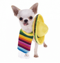 Answer to yesterdays trivia question... The Chihuahua is a breed of dog believed to originate from  A) Mexico: Answer to yesterdays trivia question... The Chihuahua is a breed of dog believed to originate from  A) Mexico