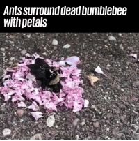 "Dank, Ants, and 🤖: Ants surround dead bumblebee  withpetals ""Spotted some ants laying petals around a dead bumblebee..."" ❤️️😭"