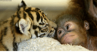 A Sumatran tiger licks a baby orangutan in a nursery room at the Taman Safari zoo in Bogor, Indonesia. The tiger and orangutan baby, which would never be together in the wild, have become inseparable playmates after they were abandoned by their mothers.: AP Photo/Achmad Ibrahim A Sumatran tiger licks a baby orangutan in a nursery room at the Taman Safari zoo in Bogor, Indonesia. The tiger and orangutan baby, which would never be together in the wild, have become inseparable playmates after they were abandoned by their mothers.