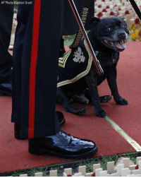 A military mascot dog and his handler wait for the start of the annual Field of Remembrance service at Westminster Abbey in London on Thursday. The centenary of the end of hostilities in WWI will be marked with large commemoration services in London, Paris and on the battlefields of northern France this Sunday.: AP Photo/Alastair Grant A military mascot dog and his handler wait for the start of the annual Field of Remembrance service at Westminster Abbey in London on Thursday. The centenary of the end of hostilities in WWI will be marked with large commemoration services in London, Paris and on the battlefields of northern France this Sunday.