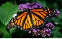 Charlie, Memes, and Butterfly: AP Photo/Charlie Neibergall Photo of the Day: A Monarch butterfly rests on a flower in Urbandale, Iowa.