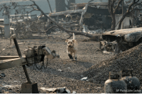 Memes, Paradise, and California: AP Photo/John Locher A search and rescue dog searches for human remains in Paradise, California.