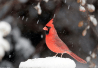 Memes, Snow, and 🤖: AP Photo/Orlin Wagner Photo of the Day: A cardinal stands on a snow-covered perch in Lawrence, Kansas.
