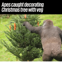 Christmas, Dank, and Christmas Tree: Apes caught decorating  Christmas tree withveg These guys are getting into the Christmas spirit 😂😂