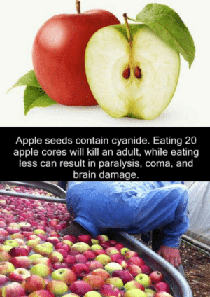 Result In: Apple seeds contain cyanide. Eating 20  apple cores will kill an adult, while eating  less can result in paralysis, coma, and  brain damage