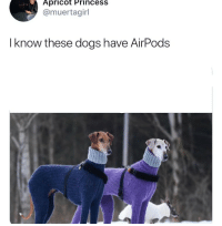 Dogs, Fucking, and Love: Apricot Princess  @muertagirl  I know these dogs have AirPods These dogs fucking love oat milk and podcasts about murder.