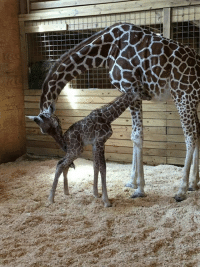 April the Giraffe with her baby Oliver: April the Giraffe with her baby Oliver