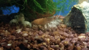 Love, Tumblr, and Work: aquariadise: crazyfishmaiden: So to feed the Vampire Shrimp at work I stir up the under gravel filter to make a debris cloud. I love watching their wavy wavy hands waving about simultaneously. It's just wonderful. My #1 fave shrimp 😍