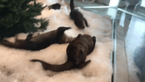 Life, Love, and Tumblr: aquariumsarelife:  aquaristlifeforme:  woesofcolor:   aquaristlifeforme: Some wiggly snow play time. We bring the snow into their exhibit bucket by bucket. It's a labor of love. wow its almost as if……….. they miss their natural habitat…. hmmmm   Fun fact. They can't miss it, because they were born in captivity as a part of the Species Survival Plan. You can learn about it here https://www.aza.org/species-survival-plan-programs . And if you knew Shasta you'd know that he doesn't miss the wild and he loves/basks in the easy life here. Also Shasta was gonna be a fur coat. But we saved him. So I don't think he is missing that either.  #marinebiologistclapback