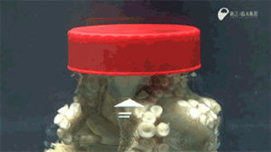 daddysbuterfly:  pomegranateandivy:  canisfamiliaris:  gamzees-hole:  razzretina:  sarahsellaphix:  officialgarrusvakarian:  we-are-star-stuff:  zerostatereflex:  An Octopus unscrewing a lid from the inside.  Octopuses are going to kill us all someday  I had a biology teacher that told us this story about an octopus at an aquarium in Australia. The staff were concerned because their population of crustaceans kept disappearing. No bodies or anything. So they checked the video feed to find out what's up. Across from the the crustacean tank was a small octopus tank. This little fucker squeezed out of a tiny hole at the top of his tank, walk across the hall, and get into the crustacean tank. He would then hunt and eat. After he was done, he crawled back out and get back in his tank Here's the kicker: security guards patrolled the area. The staff realized that the octopus had memorized the security's routine. It would escape and be back between the guards' round.  My friend who worked at Henry Doorly Zoo in Omaha, Nebraska had a similar story.  Rare fish were disappearing, they suspected theft, and so set up a camera. An octopus was unlocking the top of its tank, walking across the suspended walkway, unlocking the other tank, eating his fill, re-locking the other tank, then re-locking its own tank.  I can't remember what zoo this happened at, but there was another octopus somewhere who was unscrewing a water valve in the room where its tank was located and routinely flooding the place. The staffers had no idea what it was until they filmed the octopus caught in the act.  RELEASE THE KRAKEN!! But, sir, it has already released itself!  Octopus Steals Video Camera, Films Own Escape Octopus Escapes from Tank to Prowl on its Neighbors Octopus Escape — 600-pound (272-kilogram) octopus wriggles through a passageway the size of a quarter Legging It: Evasive Octopus Has Been Allowed to Look for Love Octopus Escapes through Small Hole in Ship  My dad worked in a lab and one of the rooms had a tank with an octopus in it. If they didn't go play with the octopus he got bored and would climb out of his tank and steal the paperwork off the desks, and drag stuff into his tank to let the scientists know he was upset with them.   😳😳😳 : aRARE daddysbuterfly:  pomegranateandivy:  canisfamiliaris:  gamzees-hole:  razzretina:  sarahsellaphix:  officialgarrusvakarian:  we-are-star-stuff:  zerostatereflex:  An Octopus unscrewing a lid from the inside.  Octopuses are going to kill us all someday  I had a biology teacher that told us this story about an octopus at an aquarium in Australia. The staff were concerned because their population of crustaceans kept disappearing. No bodies or anything. So they checked the video feed to find out what's up. Across from the the crustacean tank was a small octopus tank. This little fucker squeezed out of a tiny hole at the top of his tank, walk across the hall, and get into the crustacean tank. He would then hunt and eat. After he was done, he crawled back out and get back in his tank Here's the kicker: security guards patrolled the area. The staff realized that the octopus had memorized the security's routine. It would escape and be back between the guards' round.  My friend who worked at Henry Doorly Zoo in Omaha, Nebraska had a similar story.  Rare fish were disappearing, they suspected theft, and so set up a camera. An octopus was unlocking the top of its tank, walking across the suspended walkway, unlocking the other tank, eating his fill, re-locking the other tank, then re-locking its own tank.  I can't remember what zoo this happened at, but there was another octopus somewhere who was unscrewing a water valve in the room where its tank was located and routinely flooding the place. The staffers had no idea what it was until they filmed the octopus caught in the act.  RELEASE THE KRAKEN!! But, sir, it has already released itself!  Octopus Steals Video Camera, Films Own Escape Octopus Escapes from Tank to Prowl on its Neighbors Octopus Escape — 600-pound (272-kilogram) octopus wriggles through a passageway the size of a quarter Legging It: Evasive Octopus Has Been Allowed to Look for Love Octopus Escapes through Small Hole in Ship  My dad worked in a lab and one of the rooms had a tank with an octopus in it. If they didn't go play with the octopus he got bored and would climb out of his tank and steal the paperwork off the desks, and drag stuff into his tank to let the scientists know he was upset with them.   😳😳😳