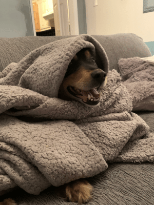 Archie is a happy pupper. His hoomans have wrapped him up in a snuggly blanket. He shall bless everyone who lays eyes on this post with good sleeps: Archie is a happy pupper. His hoomans have wrapped him up in a snuggly blanket. He shall bless everyone who lays eyes on this post with good sleeps