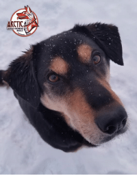 Memes, German Shepherd, and Help: ARCTIC  GERMAN SHEPHERD  RESCUE Yes Miss Quills, can I help you with something??